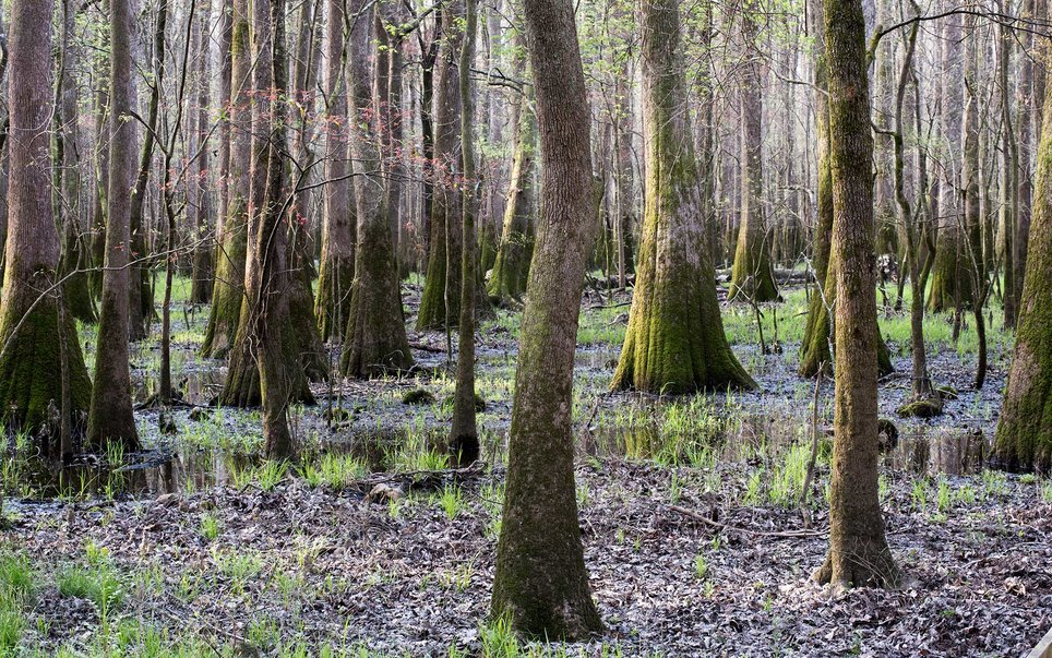 Congaree National Park, covering 26,500 acres of South Carolina, is home to the largest old-growth forest in the southeastern United States.