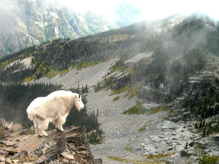 Be prepared for the possibility of being approached by mountain goats if you bring food with you. They just might try to take your snacks for themselves.