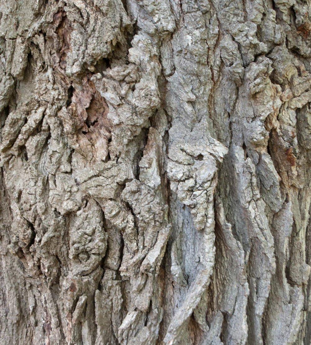 bur-oak-bark.jpg