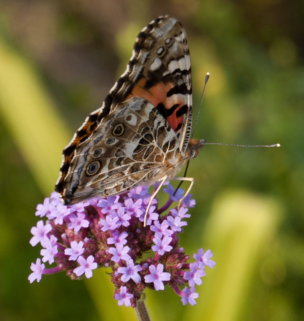 painted-lady-one.jpg
