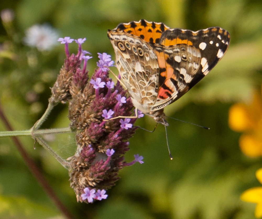 painted-lady-two.jpg