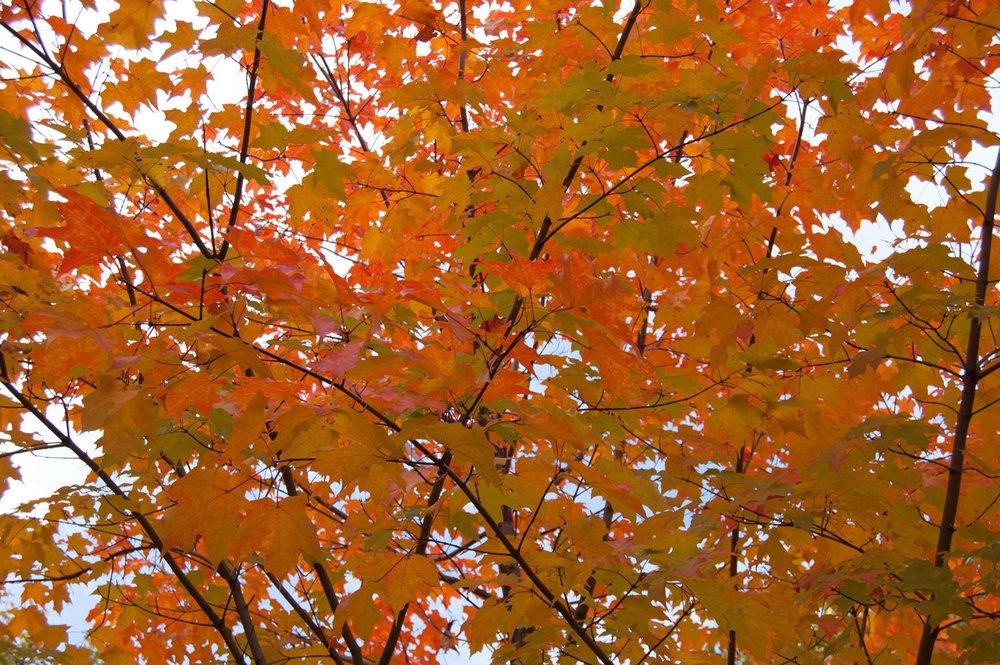 sugar-maple-tree.jpg