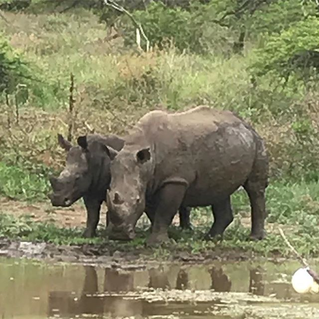 White rhino 🦏 chilling out at a small water hole breath taking. #ggga #learnprepareperform #golfcoaching #golfcoach #swingu #golf #trainlikeachampion #golfchannel #pxg