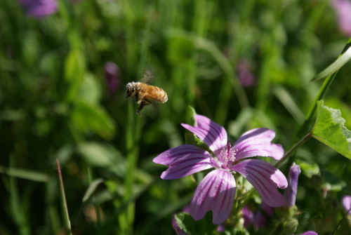 Honey Bee & Malo Flower.JPG