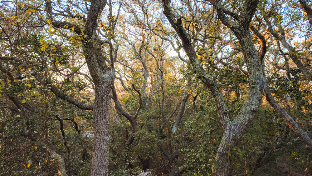 Some of the many Live Oak trees that cover the dunes.