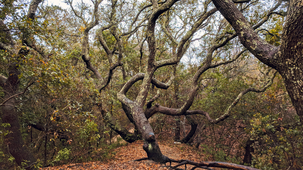 """Live Oak trees on top of """"The Eagle's Nest."""""""