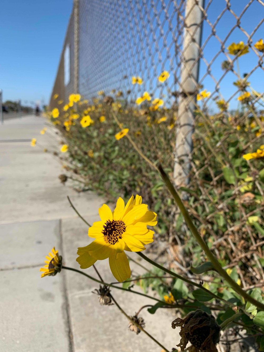 natalie brenner wild flowers and chain link fences