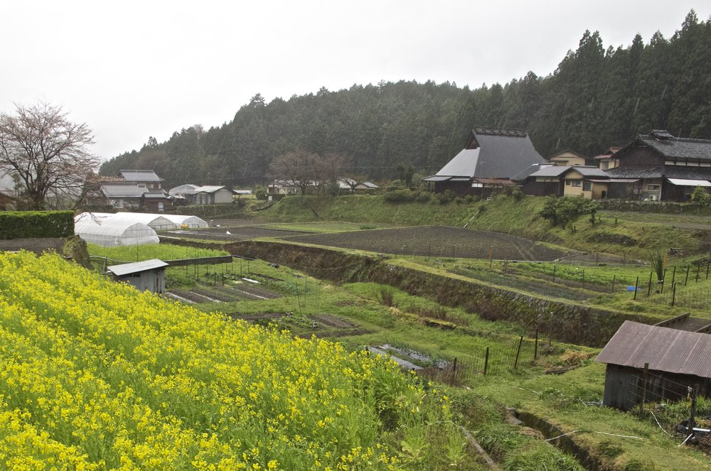 Officially designated a  kyo-yasai , or heirloom Kyoto vegetable, yellow-blooming  hana-na  is a member of the  brassica  family and is related to rapeseed and broccoli. Growing on a small family farm in Ohara in early April,  hana-na's  edible buds are either lightly cooked or preserved as pickles.