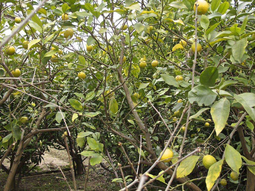 Lemons in April