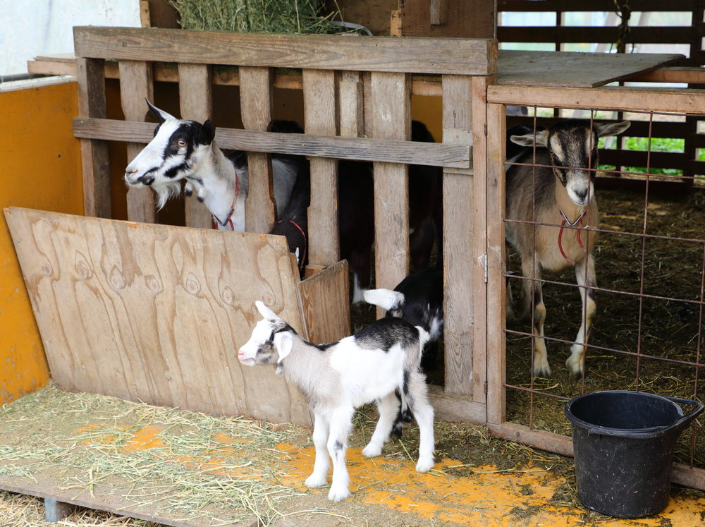In spring the new baby goats are born and taken care of in the back of the creamery for the first few weeks of their lives.
