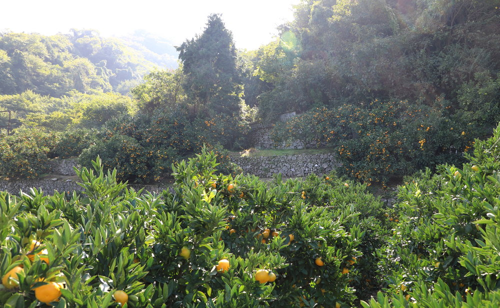 Kami-kamagari Island is a citrus paradise, and there are many varieties of both cooking and eating citrus growing on its ancient  ishizumi  stone terraces.