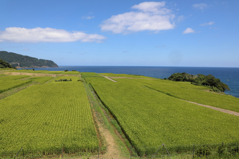 The two main foods produced around Miyazu are seafood and rice. The organic brown rice served at Aceto came from rice fields like these terraced along the spectacular coastline of the nearby Tango Peninsula.