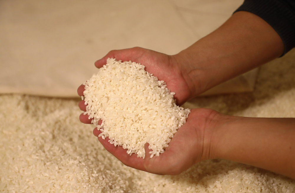At this stage in the process, each grain of rice has sprouted white koji mold; in one more day they will be covered in a white fuzz and ready to be used.