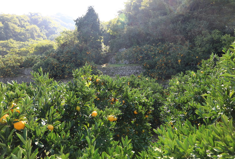 Stone terraced-orchards glow with mikan.