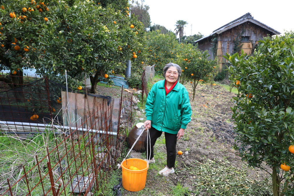 Atsuka Uegami collecting  mikan  oranges from the orchard in her home garden in the village of Kubi on Osakishimojima Island