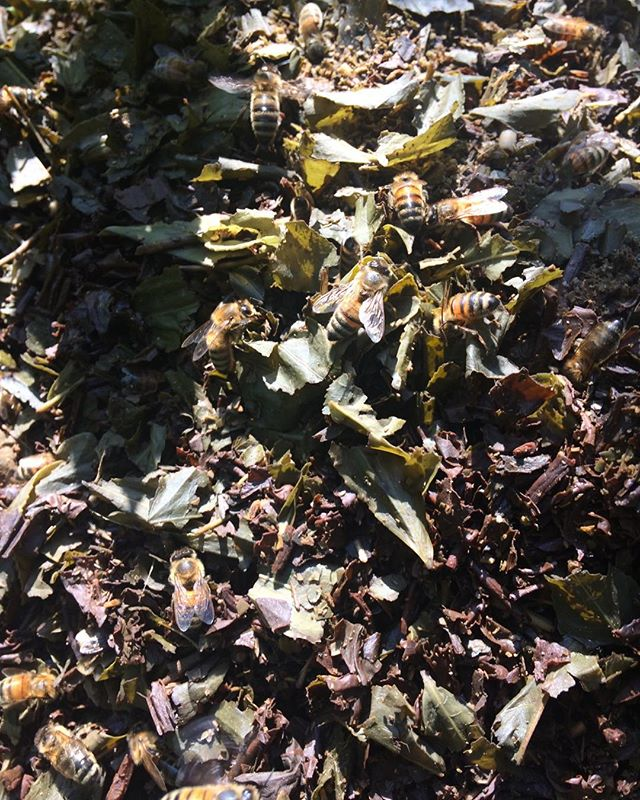 Here's some of our community bees chowing down on the kombucha compost pile.  These babies know what's up.  #feedingthequeen #kombuchaforeverybody #saltspringkombucha #guthealth