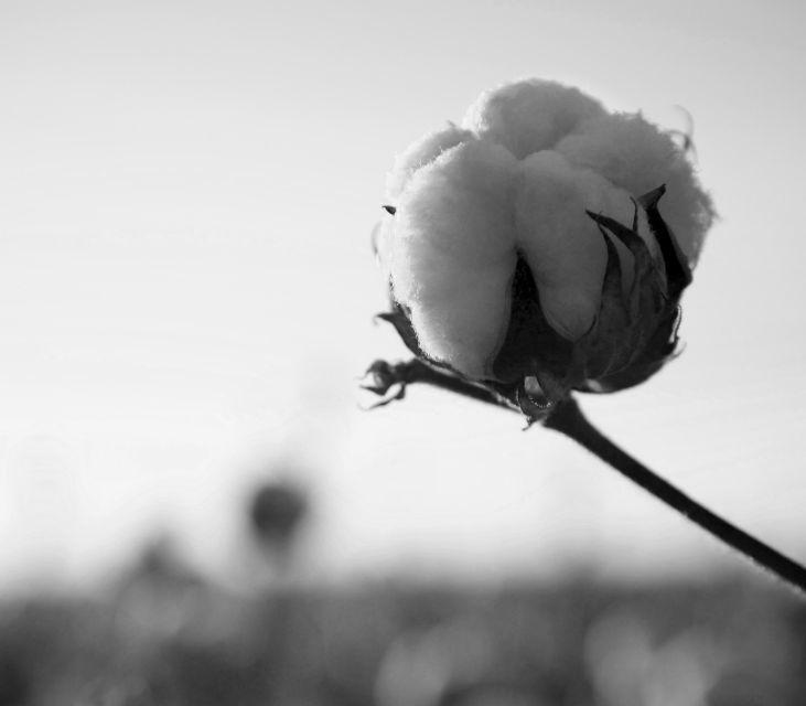 Cotton-Boll-2.jpg.jpg