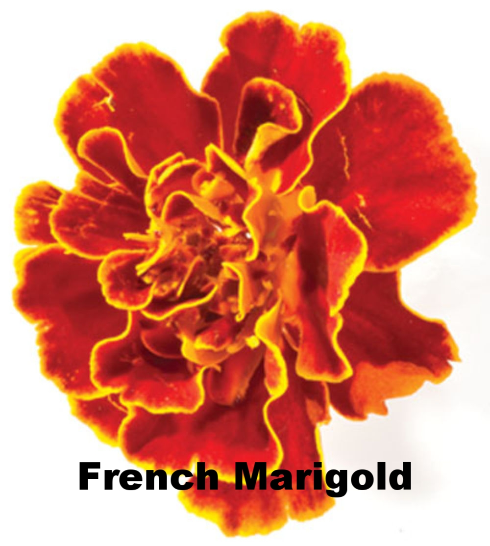 7-French-Marigolds-400.jpg