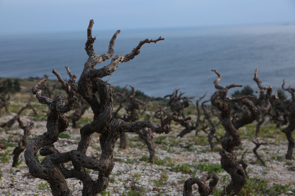 Vines in Peljesac Peninsula.JPG