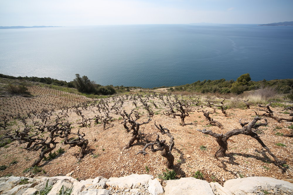 Vines with a view_Dingac_Peljesac Peninsula.JPG
