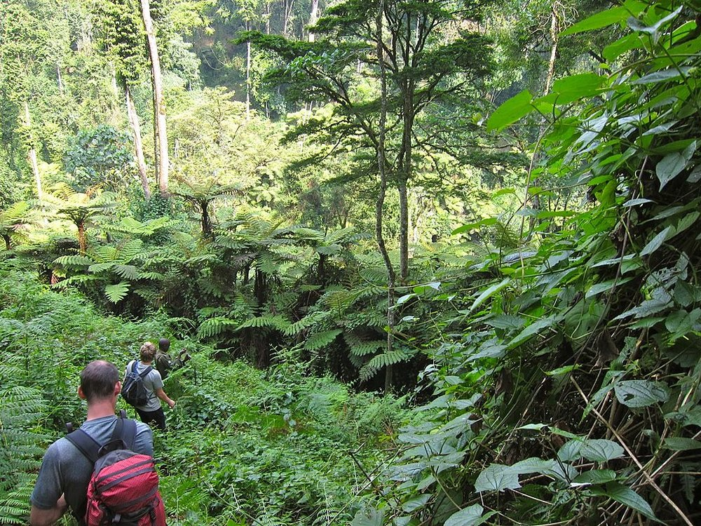 By Martijn.Munneke from Netherlands (Bwindi Impenetrable NP) [CC By 2.0 (https://creativecommons.org/licenses/by/2.0)], via Wikimedia Commons