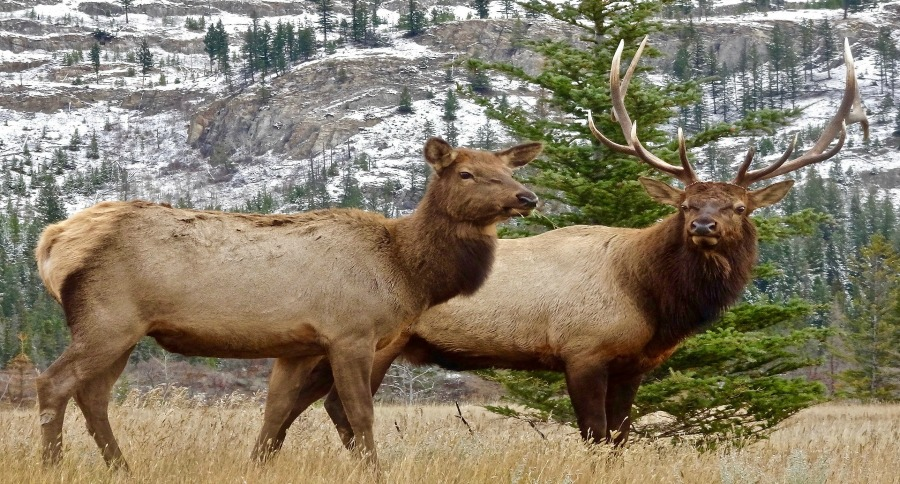 Want to Bag a Mature Cow Elk? Good Luck