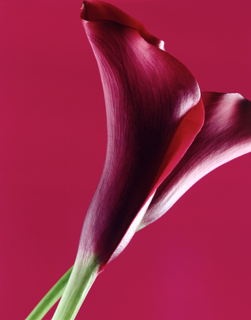 Purple_Callalily.jpg