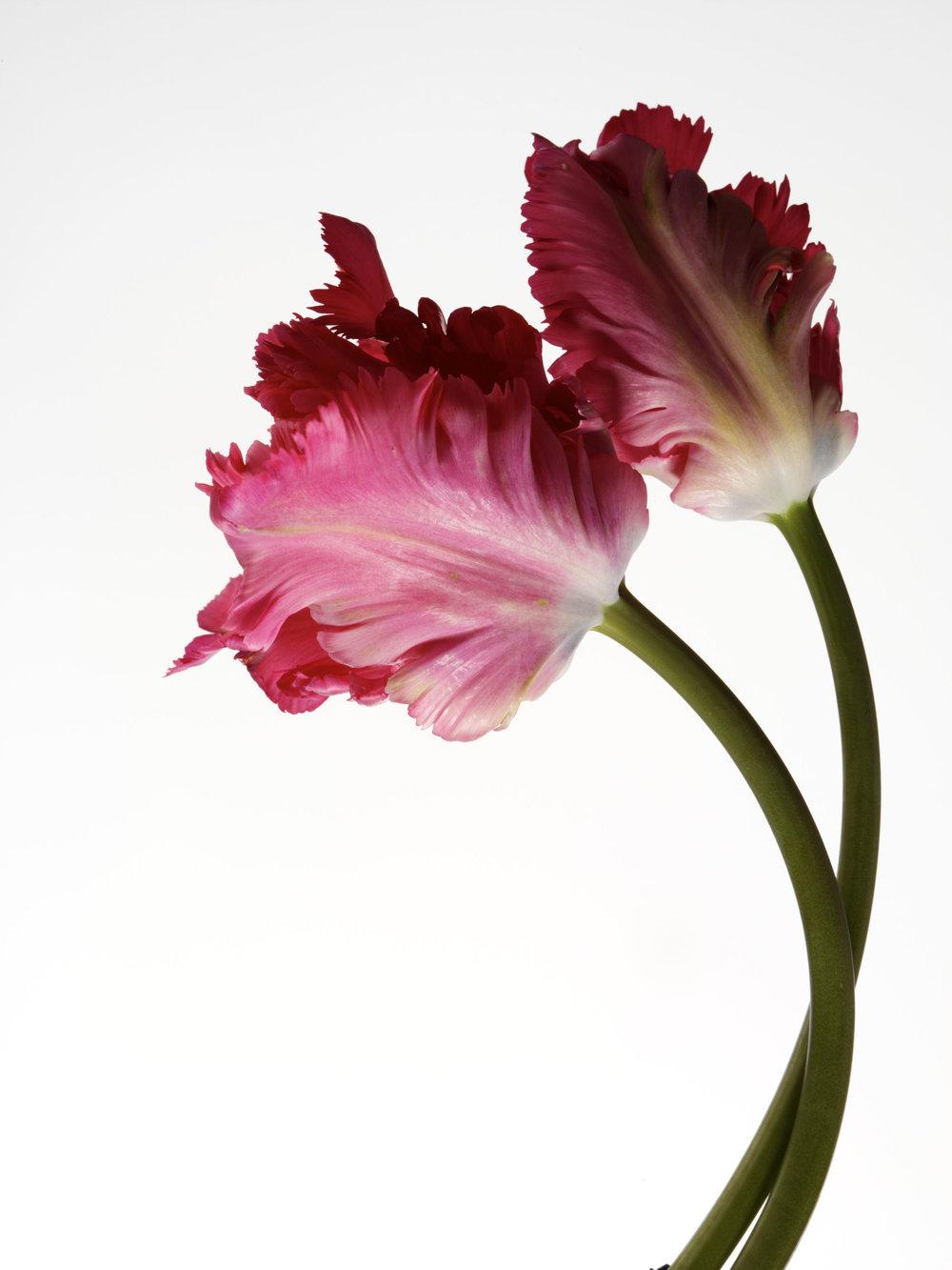 tulip_011.jpg