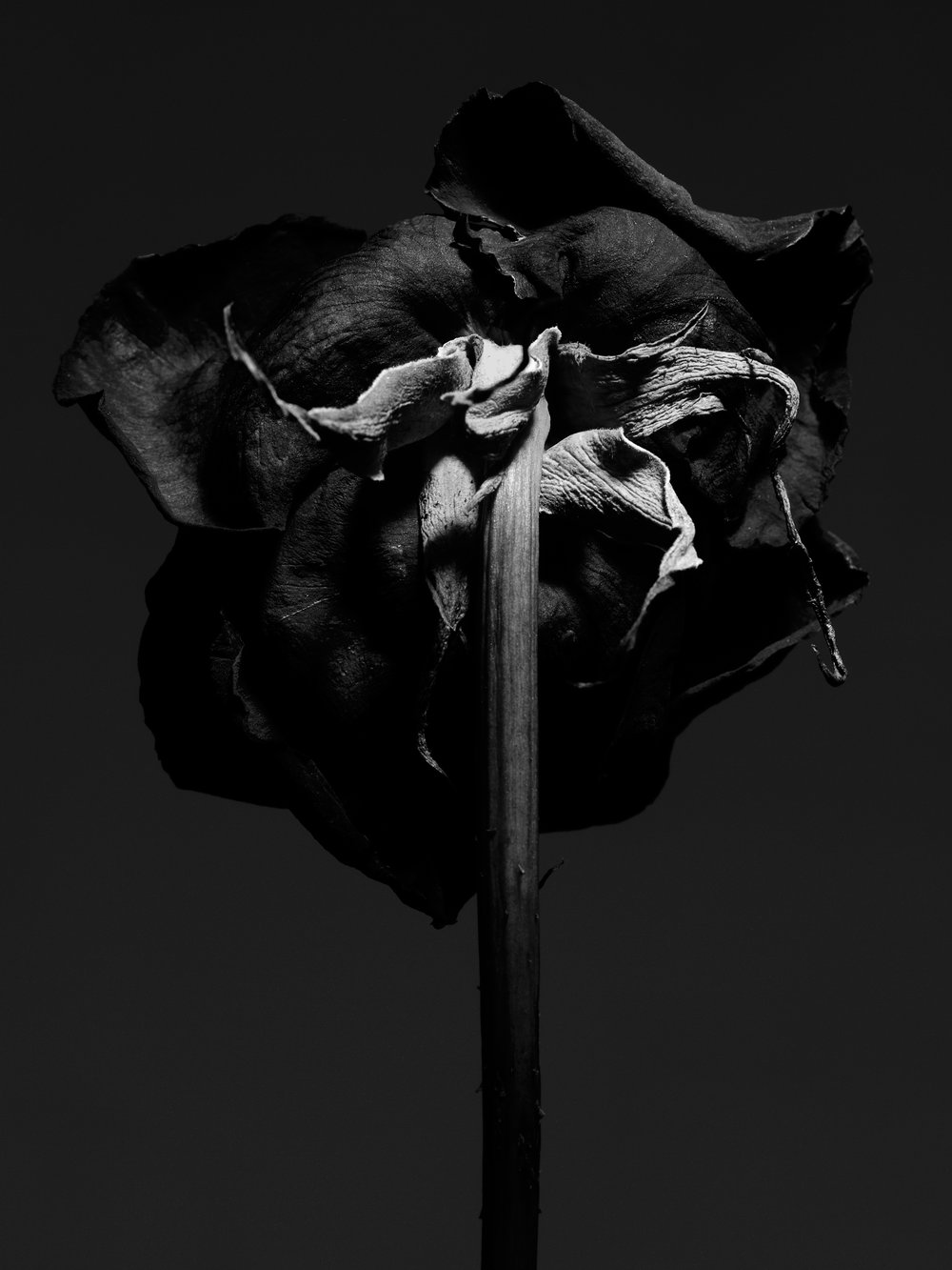 +++dried_red_rose_101.jpg