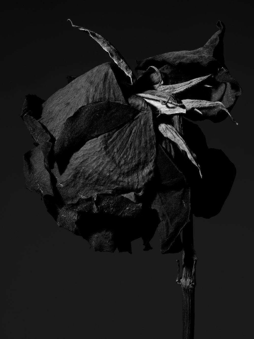 +++dried_red_rose_085.jpg