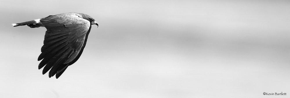snail kite B&W - 1.jpg
