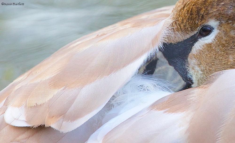 swan - 1.jpg