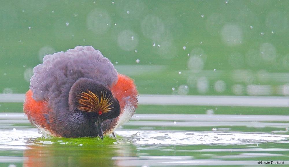 Black-necked Grebe