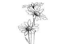 daisy-small.jpg