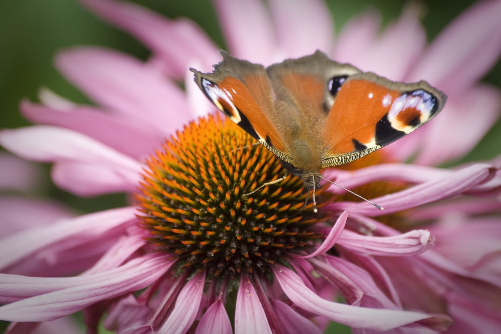 Peacock Butterfly on Echinacea by Chris Caine