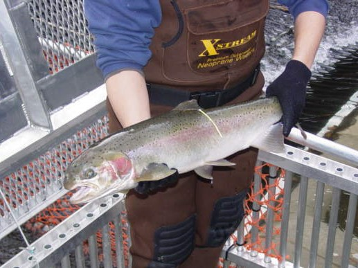 Steelhead_Photo.JPG
