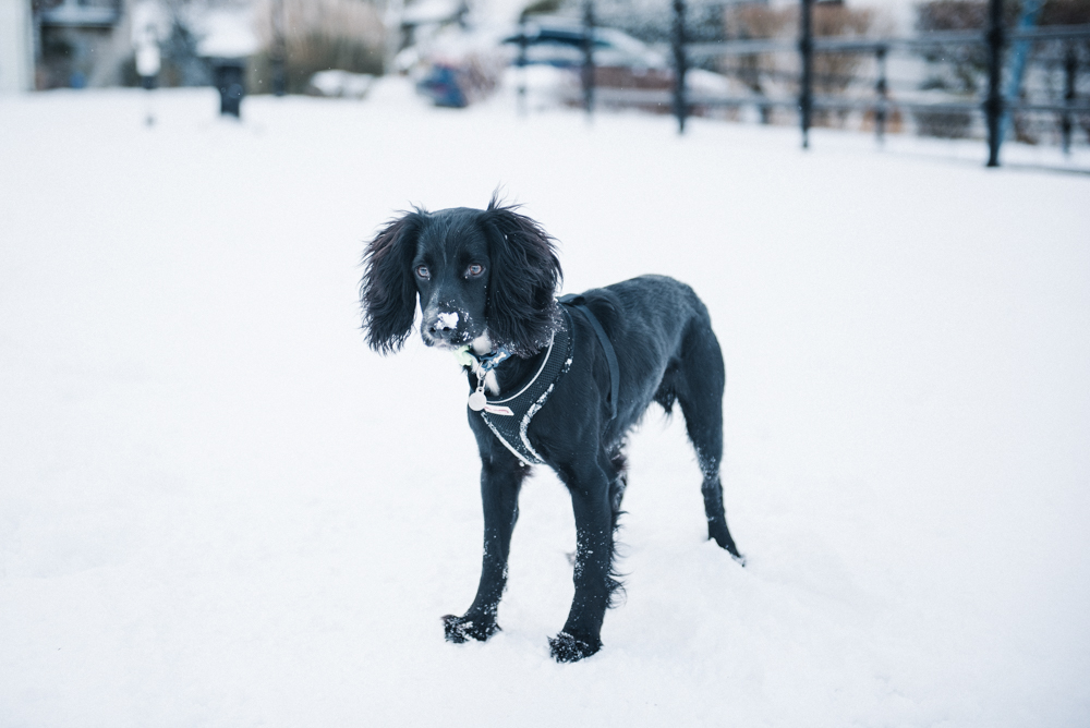 Cornwall In The Snow // www.oliviabossert.com // snow, cornwall, snow 2018, weather, photography of snow, lifestyle photography, landscape photography, united kingdom, falmouth, UK, england, working cocker spaniel, black dog, puppy, puppy in the snow, dog in the snow