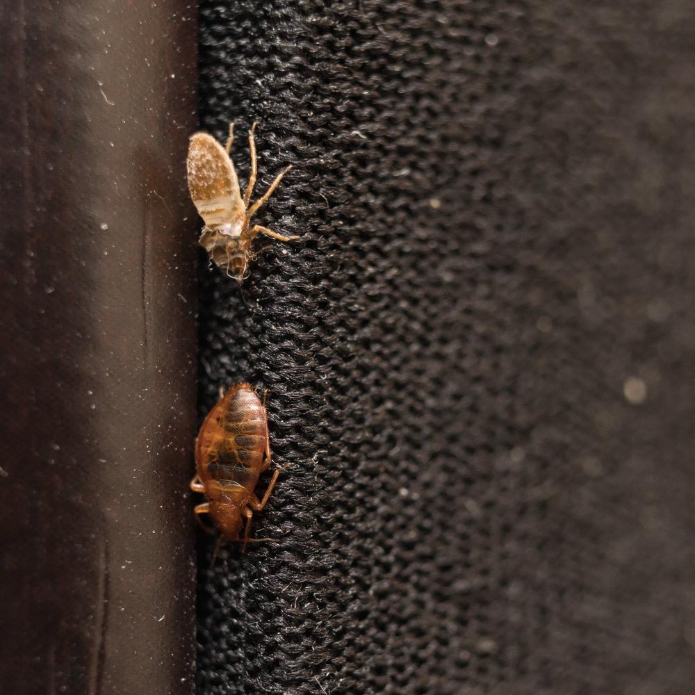 bed bug extermination activepro pest control