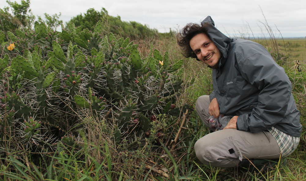 Matias   Köhler   Systematics and evolution of  Opuntia  Mill. (Cactaceae Juss.) clade Elatae, a southern South America group of species: is polyploidy correlated with species boundaries and taxon distributions?