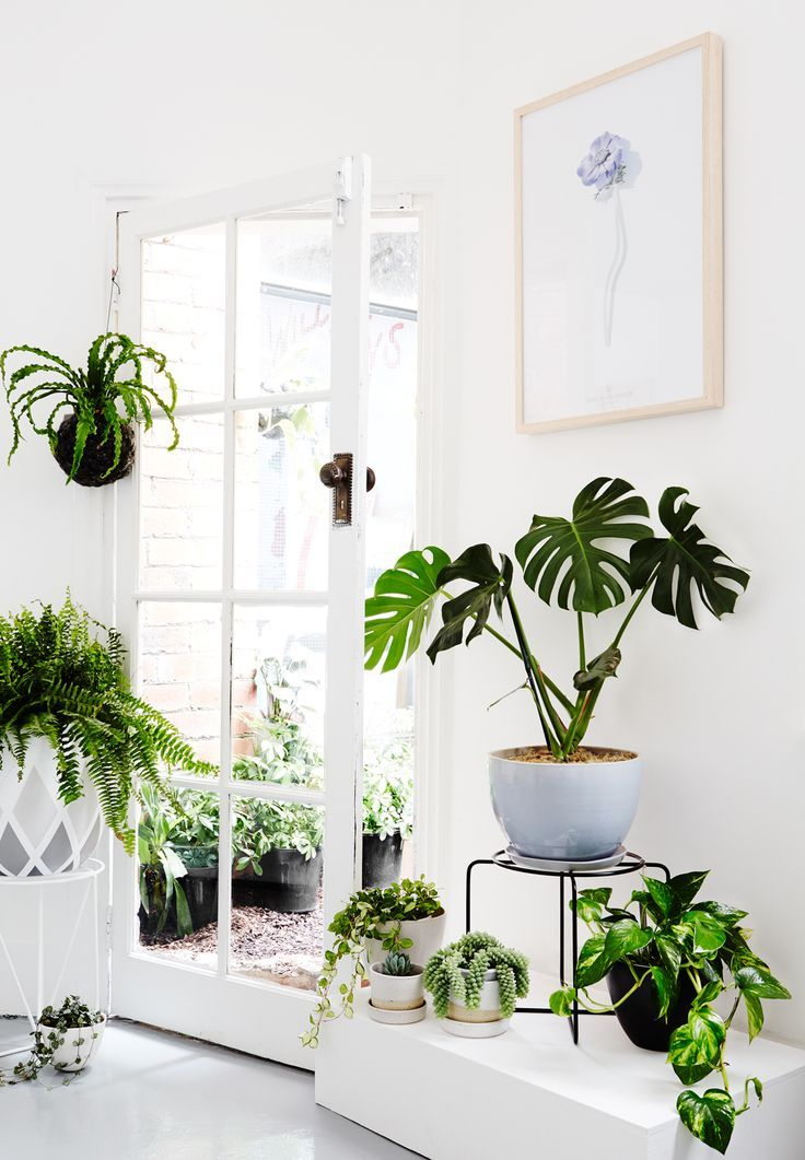 HELECHO NIDO | HELECHO KIMBERLY | PHILODENDRON