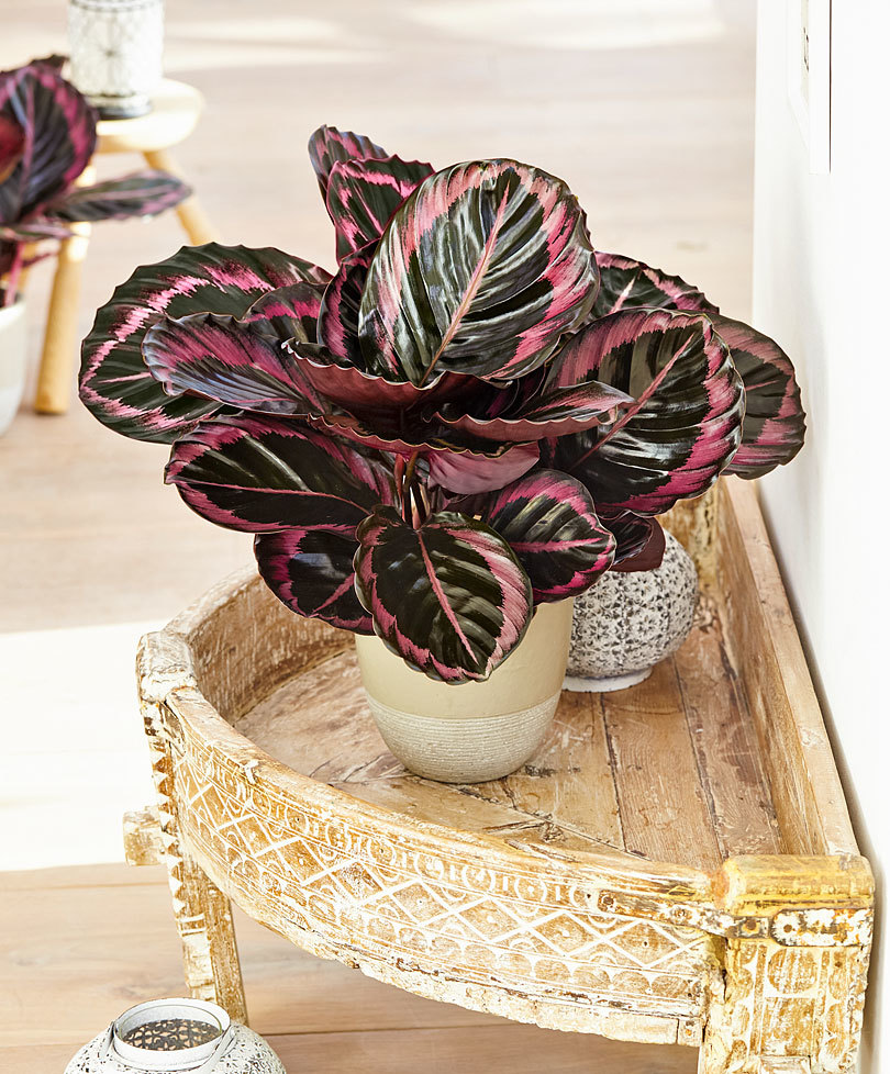 CALATHEA SURPISE STAR