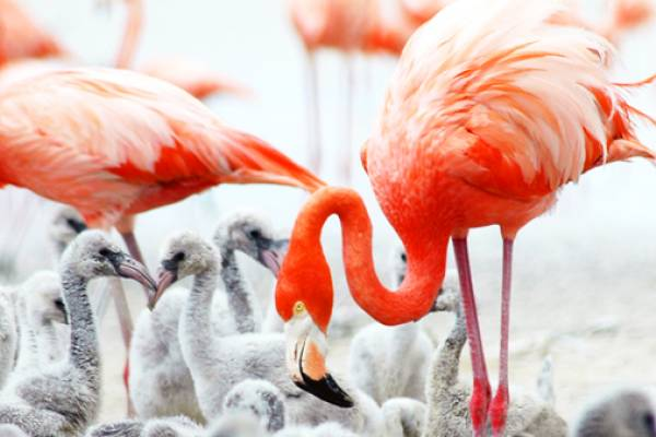 Flamingos, Great Inagua Source:  The Bahamas