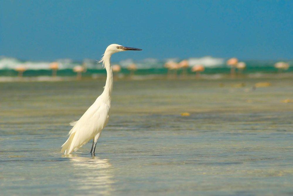 White Egret in Blackwood Point, Mayaguana Source: Alex Dedes