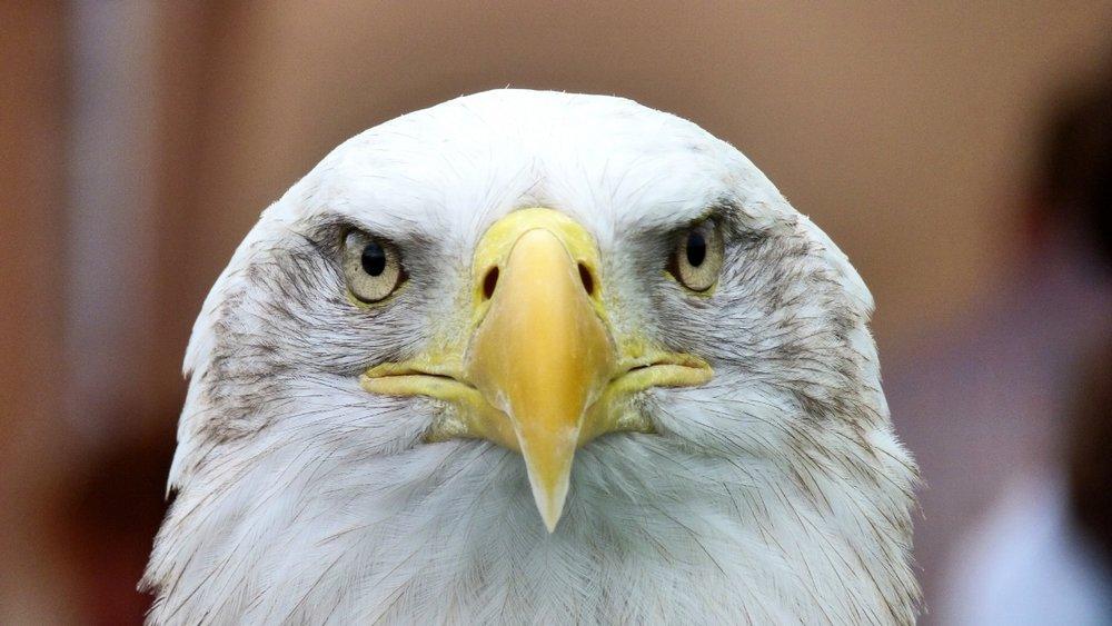 Bald Eagle Symbolism In Entrepreneurship Glad Designs Llc