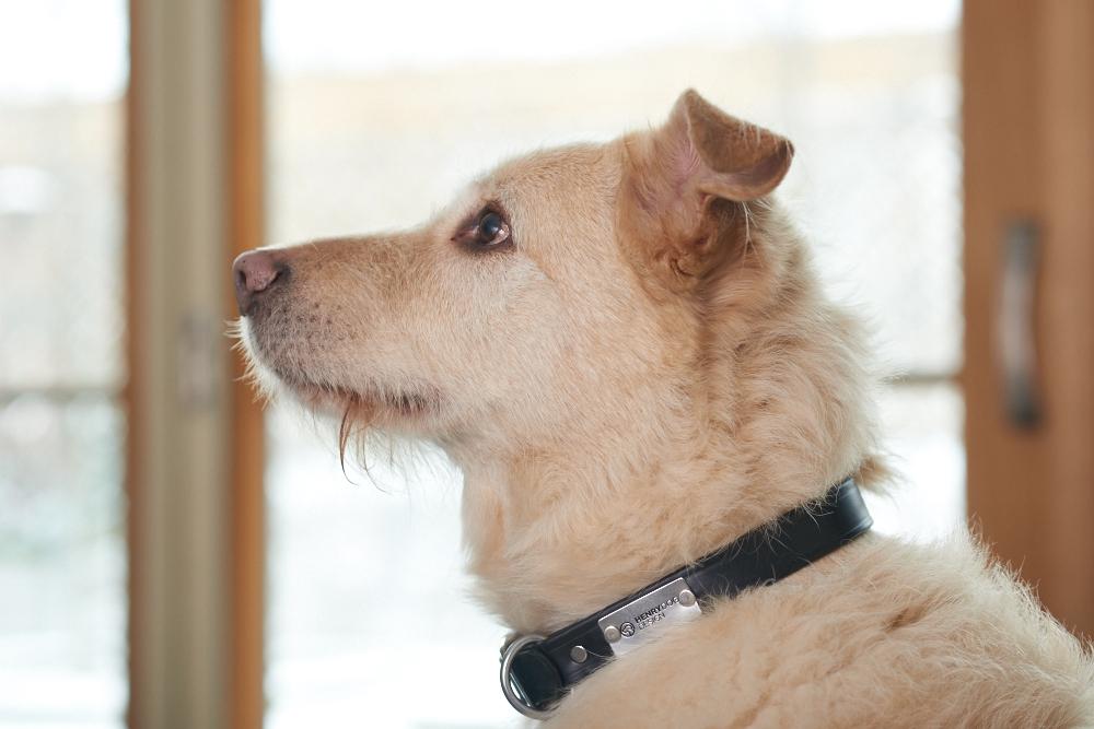 Henry Dog Design -