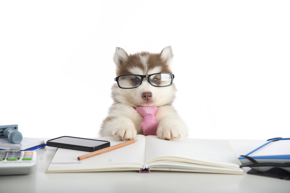 Cute siberian husky puppy in glasses working