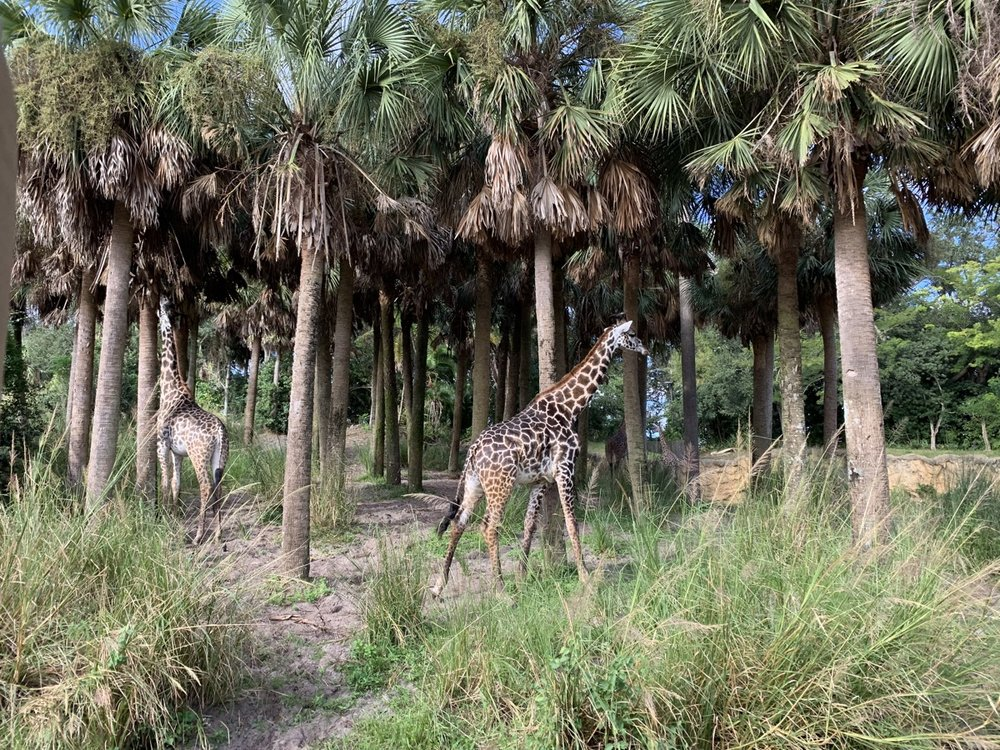 animal kingdom one day itinerary kilimanjaro safari giraffe.jpg