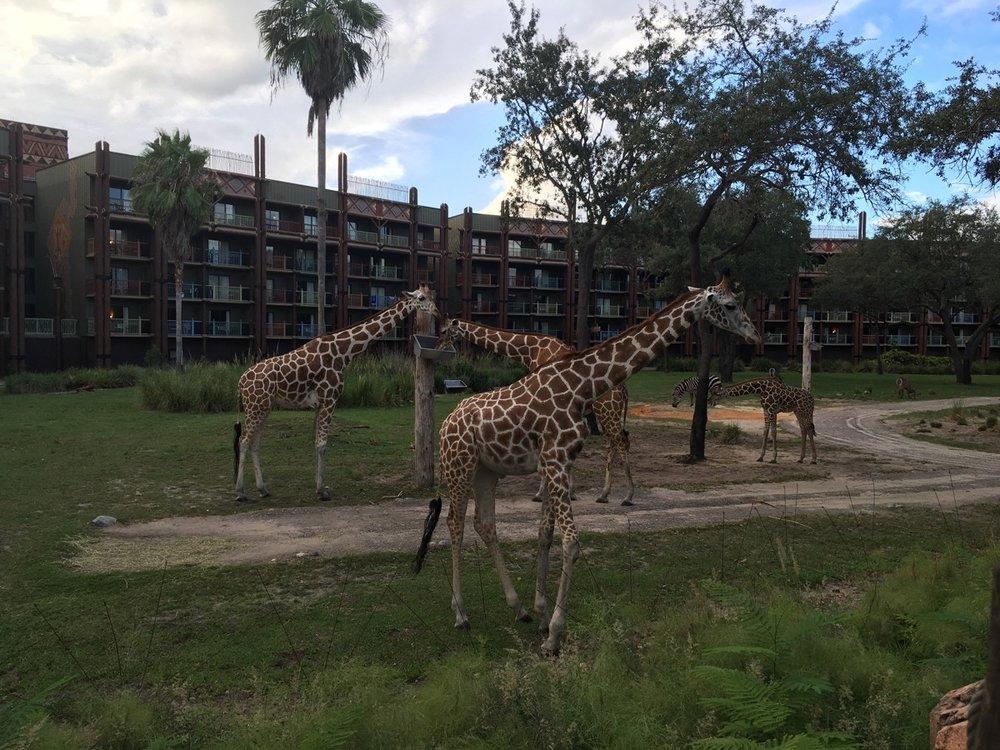 disney animal kingdom lodge review overlook 3.jpeg