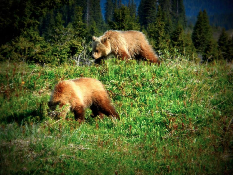 Wildlife  - The Bow Lake area and the Icefields Parkway is host to a wide range of wildlife. In addition to Elk, Goats, Sheep, Deer, Pika and Pine Marten, we also live among a large population of Grizzly Bears and Black Bears. If you plan to visit the Park, we highly recommend you take the time educate yourself on best practices when encountering wildlife. For further information, please contact Parks Canada.