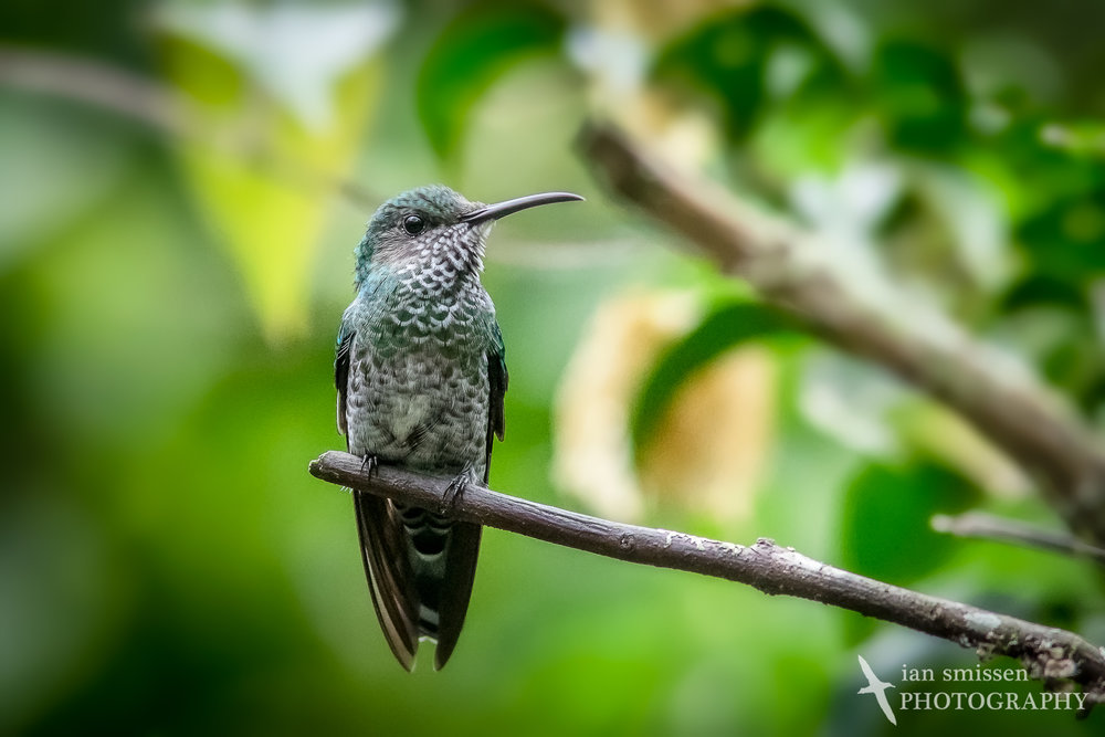 White-necked Jacobin (female)